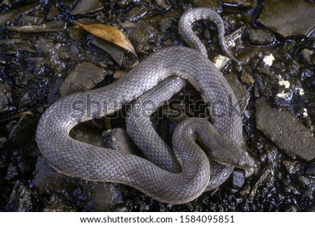 Cerberus rhynchops DOG-FACED WATER SNAKE. Shows adult about to moult. Photographed near Mumbai (Bombay) Maharashtra, INDIA.  Royalty-Free Stock Photo #1584095851