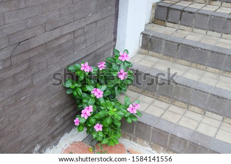 Pink flower of Madagascar Periwinkle between dark gray wall and gray staircase. Another name is West Indian Periwinkle, Indian Periwinkle, Pink Periwinkle, Old Maid, Vinca. #1584141556