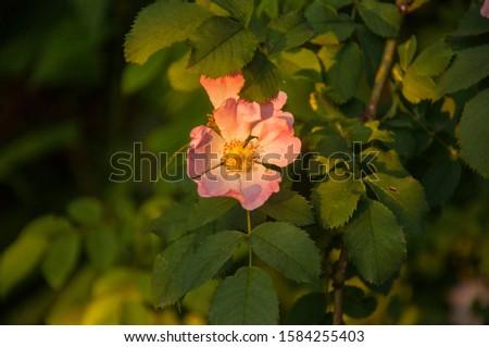 wild rose flower in summer sunset #1584255403