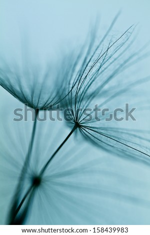 Abstract dandelion flower background, extreme closeup. Big dandelion on natural background. Art photography  #158439983