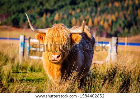 A scottish highland cow in the Highlands #1584402652