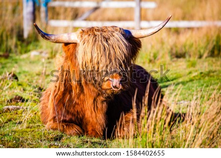 A scottish highland cow in the Highlands #1584402655