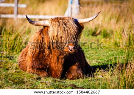 A scottish highland cow in the Highlands #1584402667
