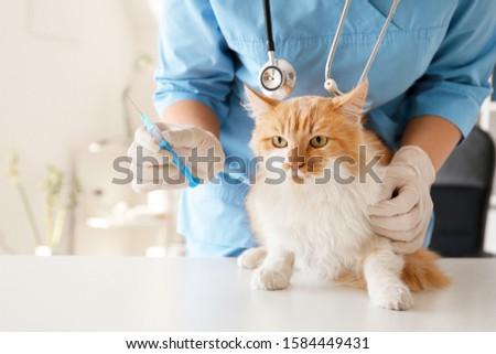 Female veterinarian vaccinating cute cat in clinic #1584449431