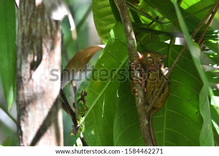 Tarsier is a nocturnal species and one of the smallest known primate that can be found in Bohol, Philippies #1584462271