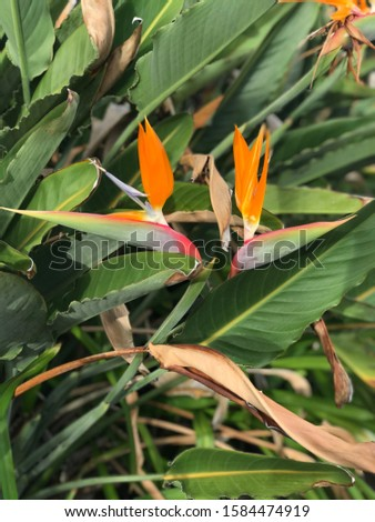 This twin birds of paradise with the birds of paradise bush behind the to orange and green flowers #1584474919