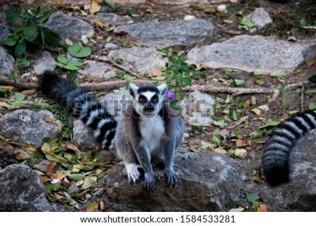 Ring tailed lemur Ring tailed lemur  #1584533281