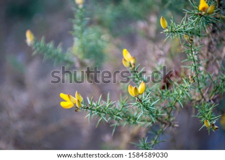 Closeup of a yellow budding and blossoming common gorse or Ulex European shrub in the end of the Dutch winter season. The buds have a velvety soft texture. #1584589030
