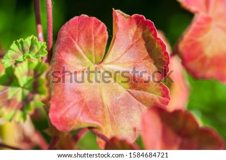 The colored leaf of Pelargonium in close-up. A Geranium-like an evergreen plant. #1584684721