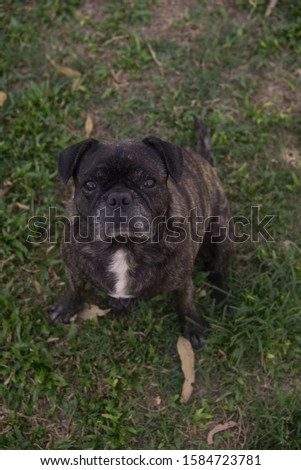 photo is a photo of a pug