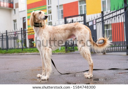 Russian canine Greyhound breed hunting animals possesses wavy silk coat beautiful figure long subtler its feet narrow muzzle. Horizontal shot close-up portrait of dogs muzzle. Walking pet in autumn #1584748300