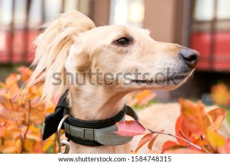 Russian canine Greyhound breed hunting animals possesses wavy silk coat beautiful figure long subtler its feet narrow muzzle. Horizontal shot close-up portrait of dogs muzzle. Walking pet in autumn #1584748315
