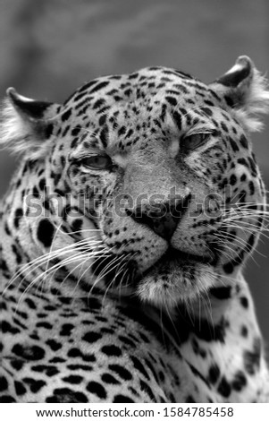 Leopard or panther (Panthera pardus) black and white picture, portrait