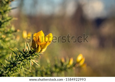 Closeup of a yellow budding and flowering common gorse or Ulex European shrub in the end of the Dutch winter season. The buds have a velvety soft texture. #1584922993