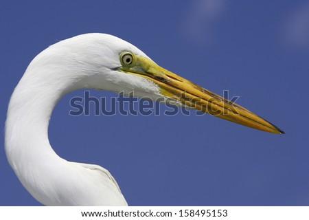 Great Egret #158495153