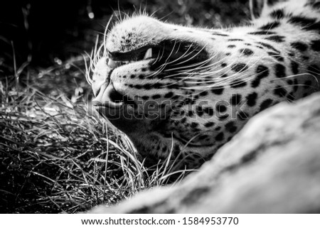 A close up black and white portrait of a leopard lying on its back in the grass. The carnivore is sleeping. #1584953770
