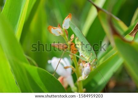 Pink eye Grasshopper eating flower upside down (Tettigonia viridissima) - High Res Stock Image