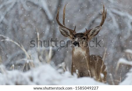 A Large Mule Deer Buck in a Snowy Field #1585049227