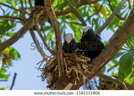 White capped noddy (Anous Minutus), Vogel, auf Koralle, Lady Elliott Island, Queensland, Great Barrier Reef, Australien, Ozeanien