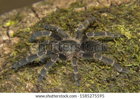 Tarantula, Theraphosidae, Silent Valley National Park, Kerala