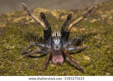 Thrigmopoeus psychedelicus, Theraphosidae, Thenmala, Kerala.