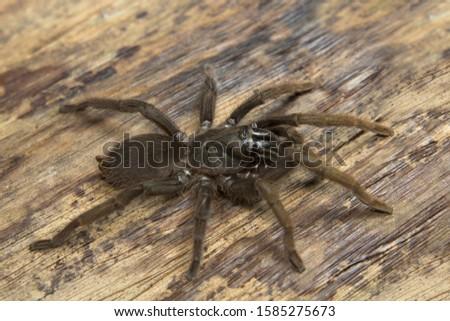 Theraphosidae, Valparai, Tamil nadu, India. A burrow dwelling tarantula found along mud escarpments along road and tea estates.