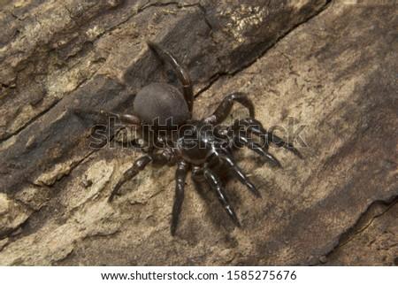 Trap door spider, Idiops sp, Idiopidae, Eravikulam National Park, Kerala, India