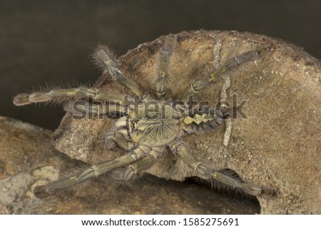 Reddish parachute spider, Poecilotheria rufilata, Theraphosidae, Pepper wildlife sanctuary, Kerala, India
