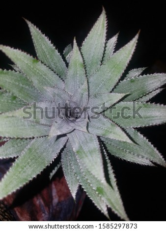 pineapple leaves are of great medicinal properties. Besides pineapple leaves can also be used as handicraft materials, altogether pineapple leaf craftsmen are currently starting to grow rapidly.. #1585297873