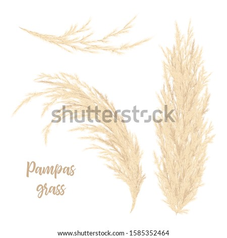 Pampas grass golden. Vector illustration. Floral ornamental grass. feathery flower head plumes, used in flower arrangements, ornamental displays, decoration