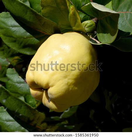 Quince; Cydonia; Oblonga is a deciduous tree with a crooked stem and broad crown that bears edible fruit. #1585361950