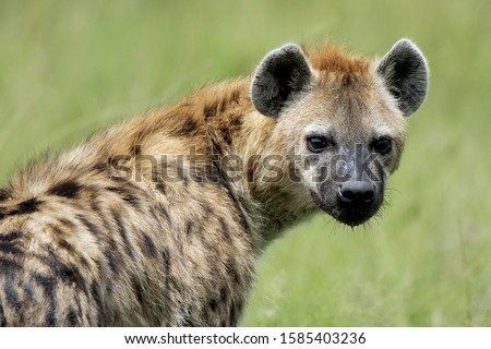 Spotted hyena. African savanna. Animal.