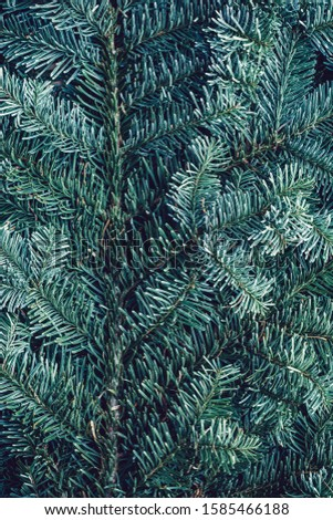 Spruce branch. Fir branch. A branch of an evergreen tree. Christmas background. New year background. Coniferous branches. Texture of coniferous branches. #1585466188