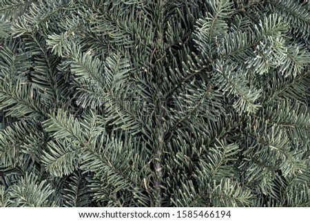 Spruce branch. Fir branch. A branch of an evergreen tree. Christmas background. New year background. Coniferous branches. Texture of coniferous branches. #1585466194