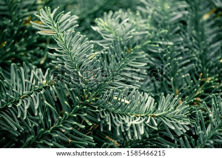 Spruce branch. Fir branch. A branch of an evergreen tree. Christmas background. New year background. Coniferous branches. Texture of coniferous branches. #1585466215