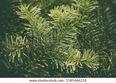 Spruce branch. Fir branch. A branch of an evergreen tree. Christmas background. New year background. Coniferous branches. Texture of coniferous branches. #1585466218