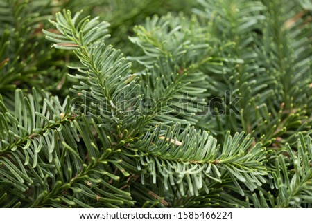 Spruce branch. Fir branch. A branch of an evergreen tree. Christmas background. New year background. Coniferous branches. Texture of coniferous branches. #1585466224