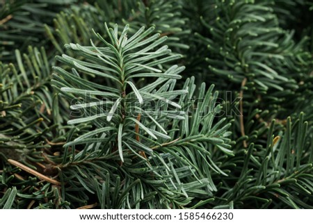 Spruce branch. Fir branch. A branch of an evergreen tree. Christmas background. New year background. Coniferous branches. Texture of coniferous branches. #1585466230