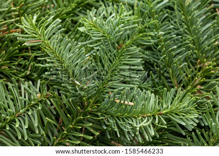 Spruce branch. Fir branch. A branch of an evergreen tree. Christmas background. New year background. Coniferous branches. Texture of coniferous branches. #1585466233