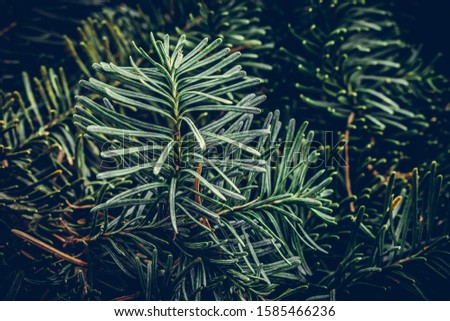 Spruce branch. Fir branch. A branch of an evergreen tree. Christmas background. New year background. Coniferous branches. Texture of coniferous branches. #1585466236