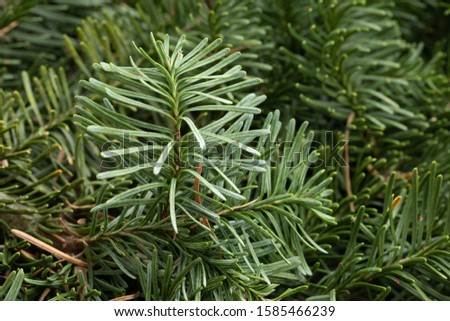 Spruce branch. Fir branch. A branch of an evergreen tree. Christmas background. New year background. Coniferous branches. Texture of coniferous branches. #1585466239