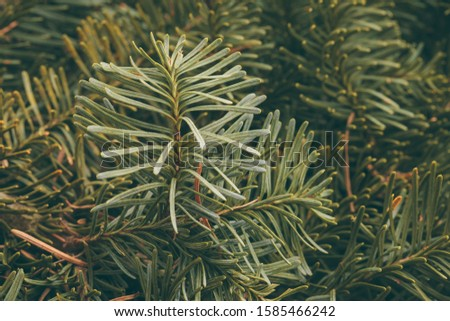 Spruce branch. Fir branch. A branch of an evergreen tree. Christmas background. New year background. Coniferous branches. Texture of coniferous branches. #1585466242