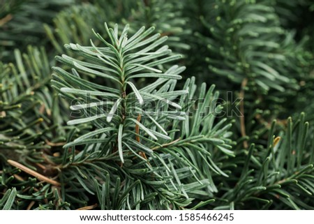 Spruce branch. Fir branch. A branch of an evergreen tree. Christmas background. New year background. Coniferous branches. Texture of coniferous branches. #1585466245