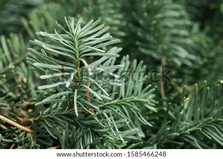 Spruce branch. Fir branch. A branch of an evergreen tree. Christmas background. New year background. Coniferous branches. Texture of coniferous branches. #1585466248