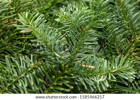 Spruce branch. Fir branch. A branch of an evergreen tree. Christmas background. New year background. Coniferous branches. Texture of coniferous branches. #1585466257