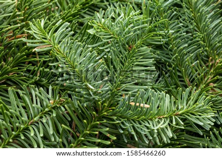 Spruce branch. Fir branch. A branch of an evergreen tree. Christmas background. New year background. Coniferous branches. Texture of coniferous branches. #1585466260