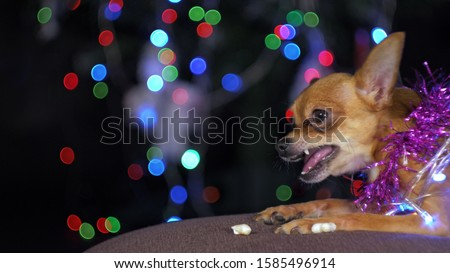 The Toy Terrier is a yellow New Year's dog. A funny dog eats a tasty bone with meat. Tinsel on her neck, around the garlands. A background of a fur-tree with shone by lights. #1585496914