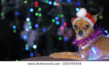 The Toy Terrier is a yellow New Year's dog. A funny dog in a Christmas cap lies and looks around. He falls asleep and wakes up. A background of a fur-tree with shone by lights. #1585496968
