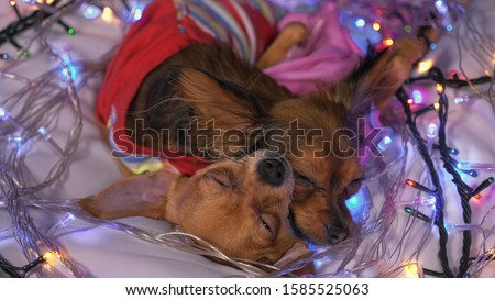 The Toy Terrier is a yellow New Year's dog. Two dogs lie ridiculously and fall asleep. They are surrounded by garlands and are dressed in children's sliders. #1585525063