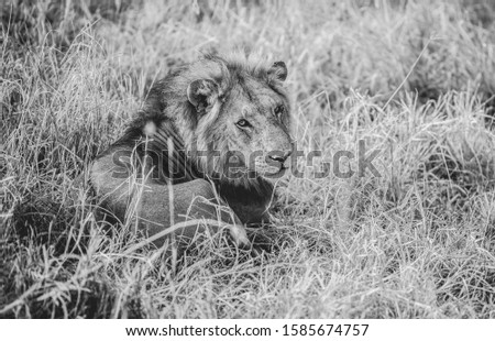 Lion in the national park #1585674757